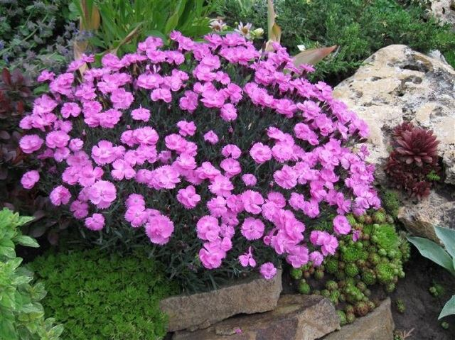 flores-claveles-jardin-decoracion