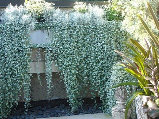 plantas de exterior resistentes dichondra cataratas plateadas