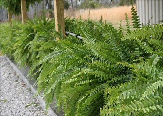 Plantas de exterior ideas para un jard n de ensue o for Plantas ornamentales helechos
