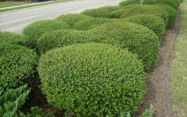 plantas de exterior yaupon enano