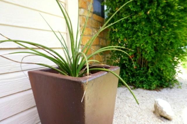 Plantas de exterior resistentes las m s f ciles de cuidar for Yuca planta de exterior