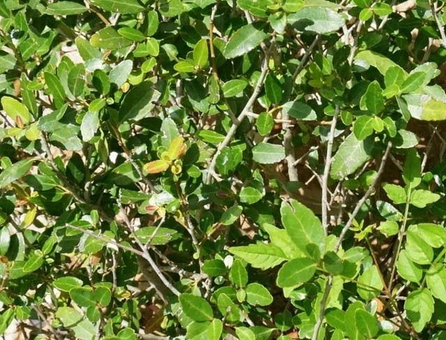plantas exterior resistentes sol yaupon verde