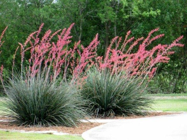 plantas exterior yucca color rosa