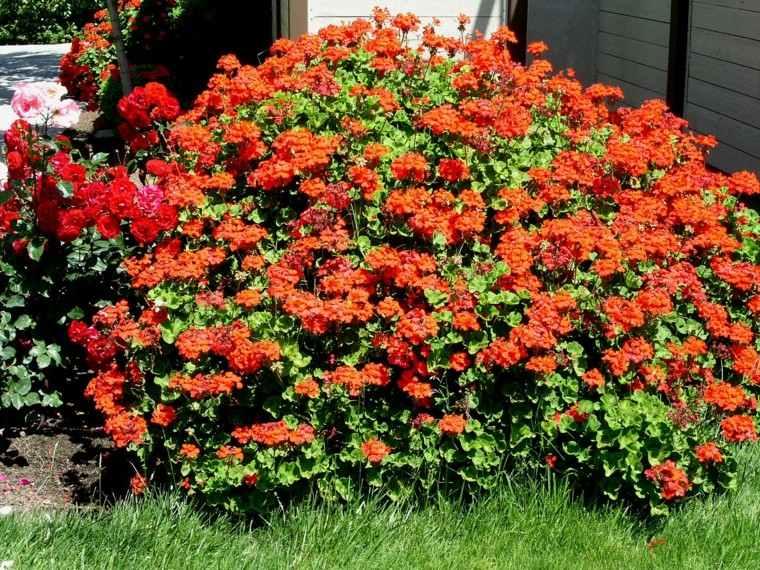 arbusto  geranios color naranja rojo