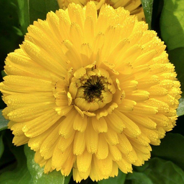 calendula amarilla muy cerca grande