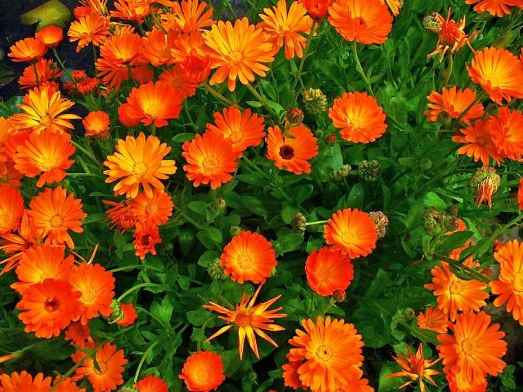 calendulas color naranja intenso