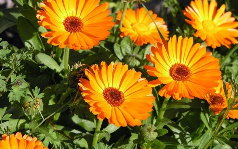 calendulas color naranja muy bonitas