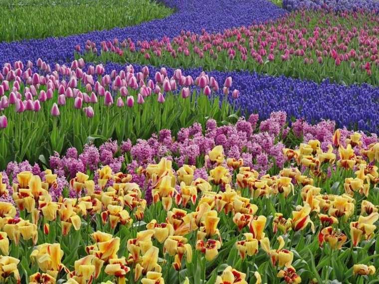 campo flores tulipanes colores morados