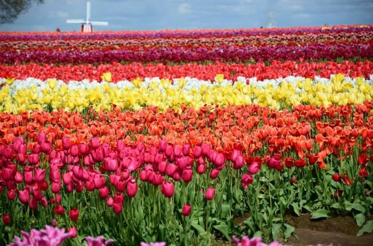 campo tulipanes muchos colores bonito