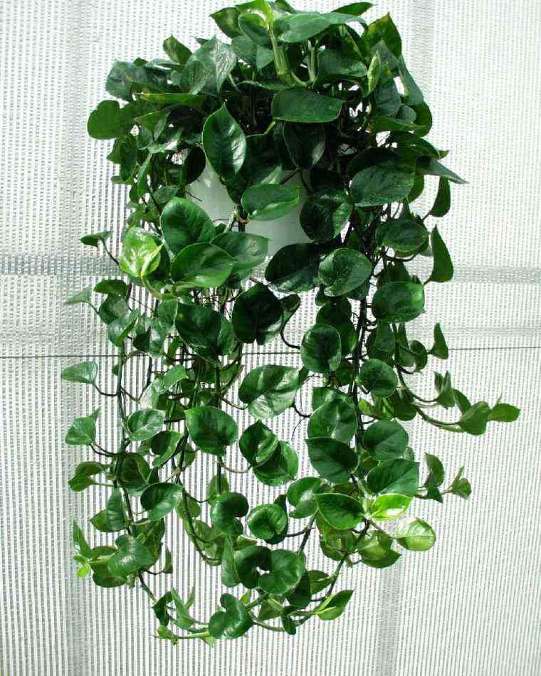 decoración de interiores con plantas cascada colgante verde