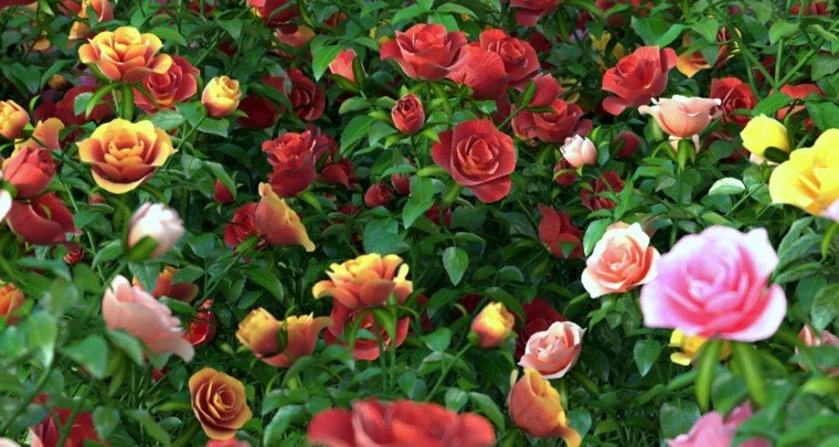 estupendo rosal muchos colores rosas