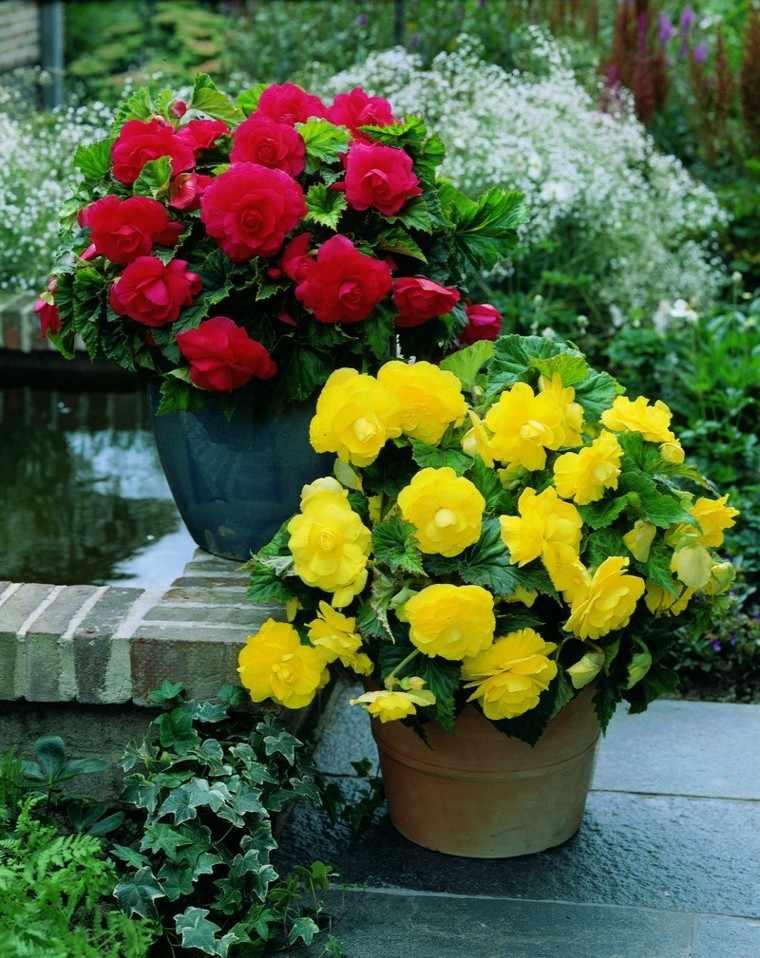flores bonitas begonia roja amarilla macetas