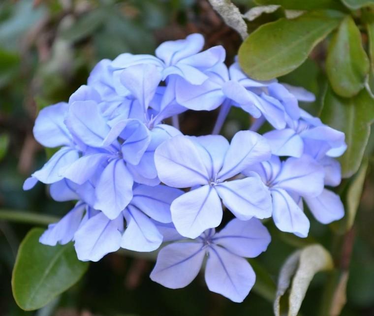 jazmines azules violeta lila