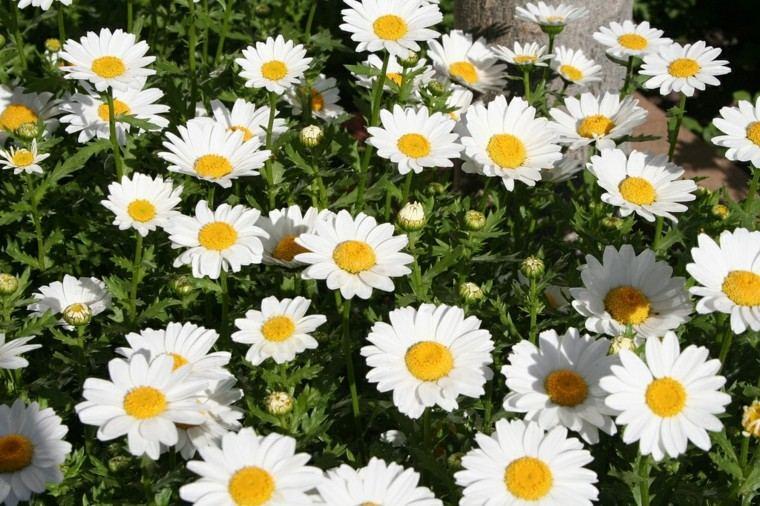 margaritas blancas muchas jardines