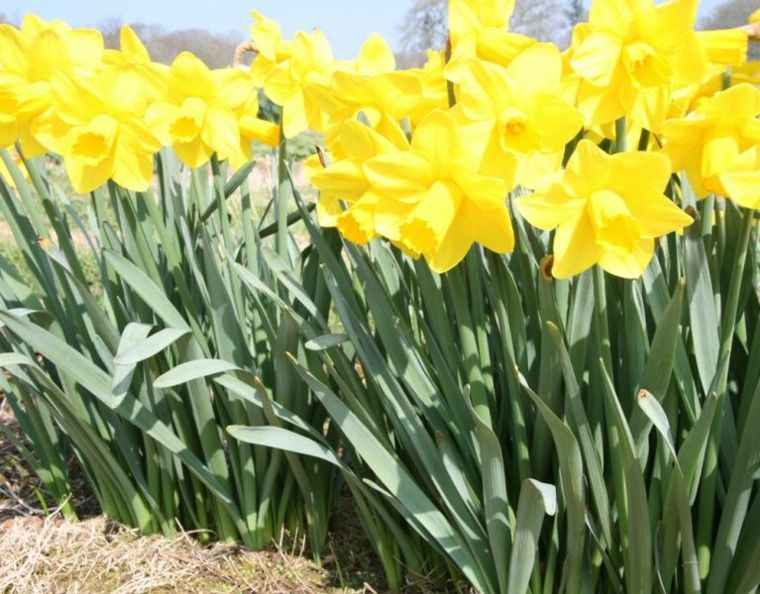 narcisos amarillos plantas de jardín hojas