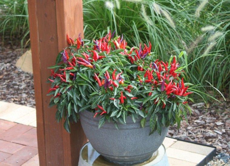 pequeños  pimiendos decorativos jardin