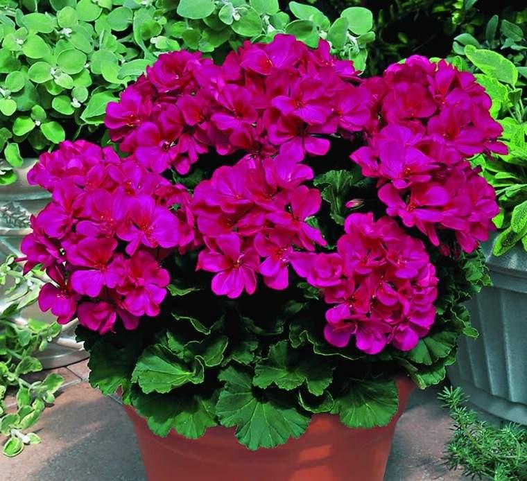 plantas de jardín geranio rosa