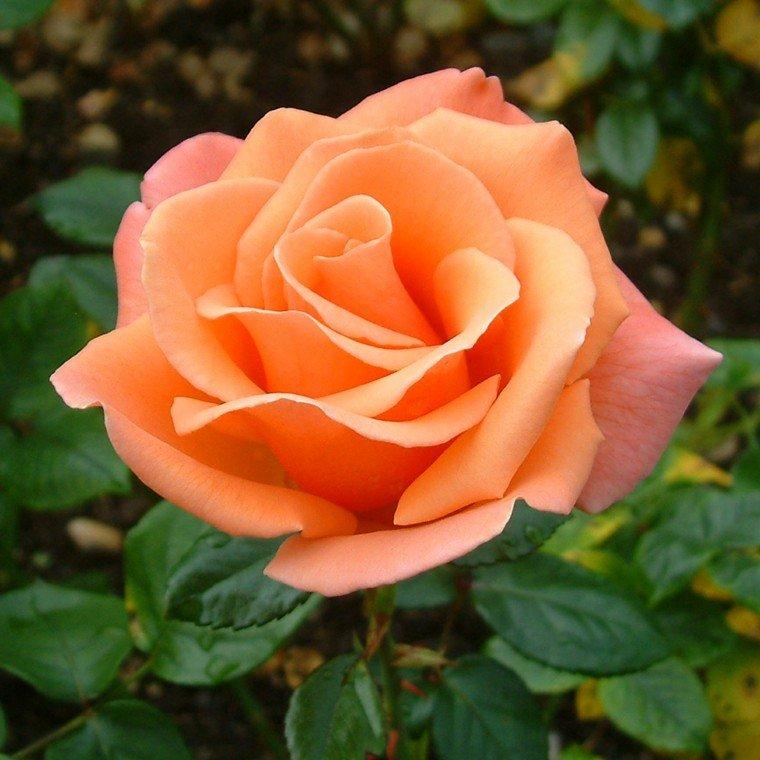 plantas de jardín rosa color naranja