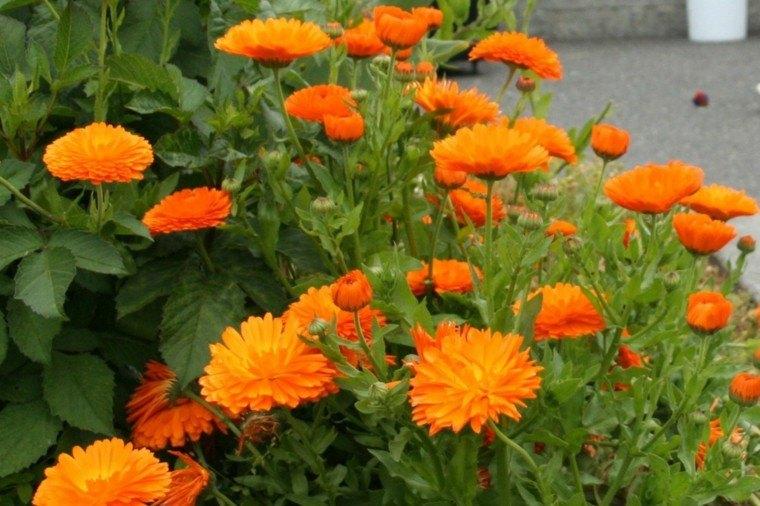 plantas de jardín calendulas naranja