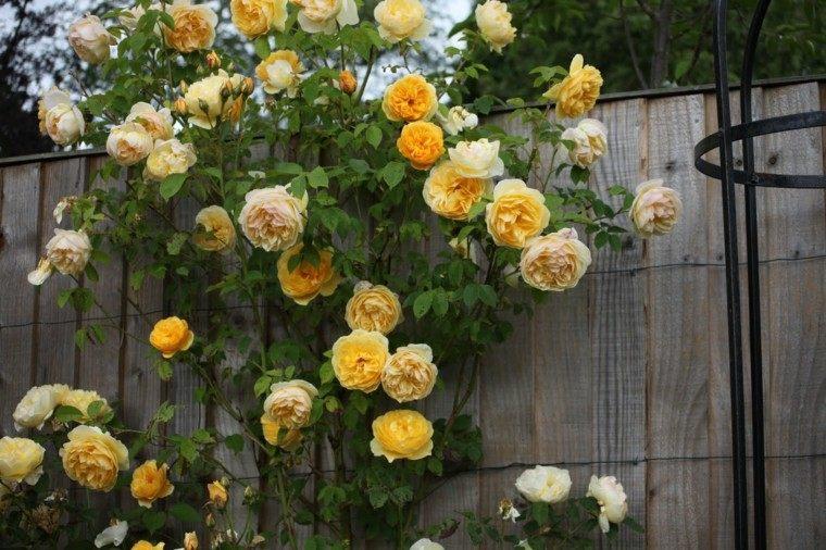 rosal amarillo plantas valla jardín