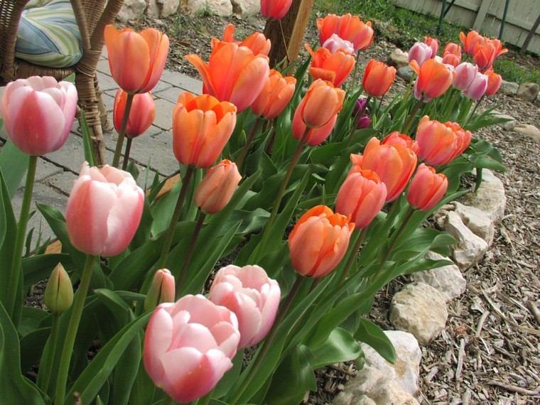 tulipanes varios colores jardin rojos