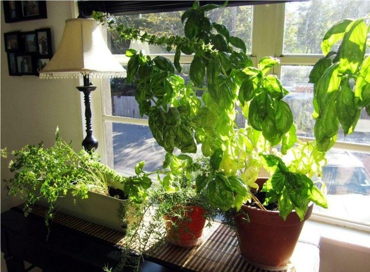 Especias naturales cultivadas en macetas de interior for Cultivo de albahaca en interior