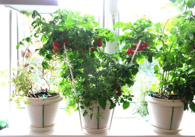 tomates cherry cultivo interior macetas