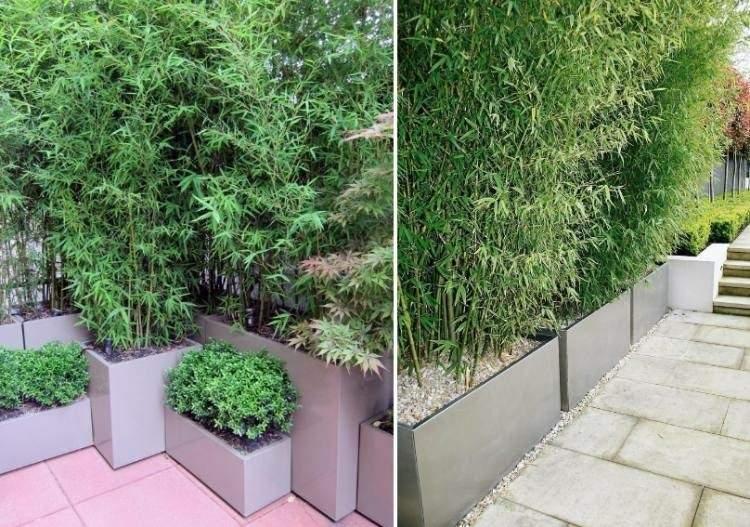 como cultivar cañas bambu