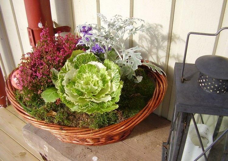 basket cabbage plants autumn