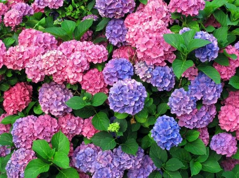 bonitas hortensias varios colores
