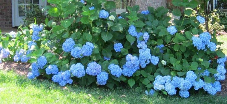 bonito arbusto color azul