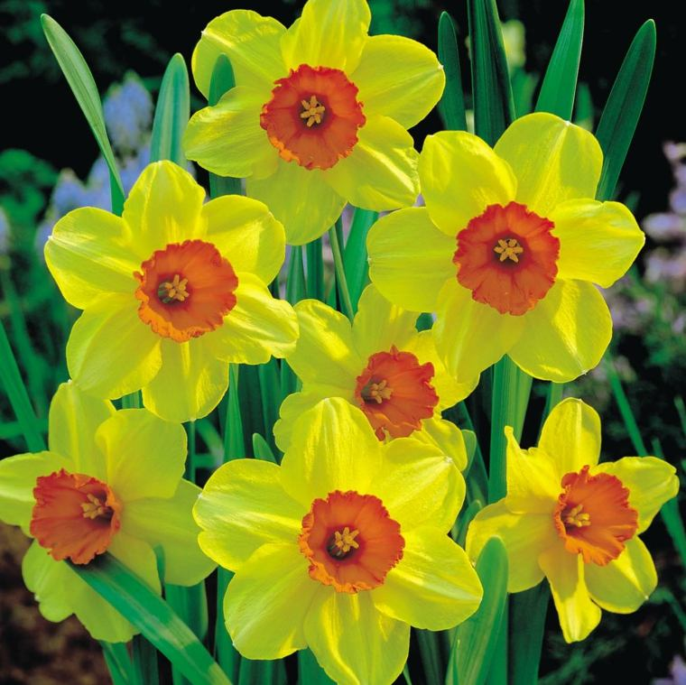 bonitos narcisos color amarillo naranja