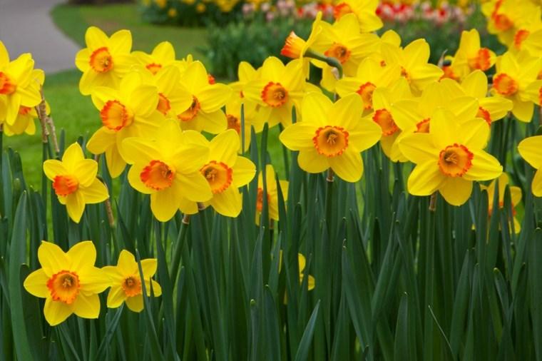 bonitos narcisos foto portada amarillos