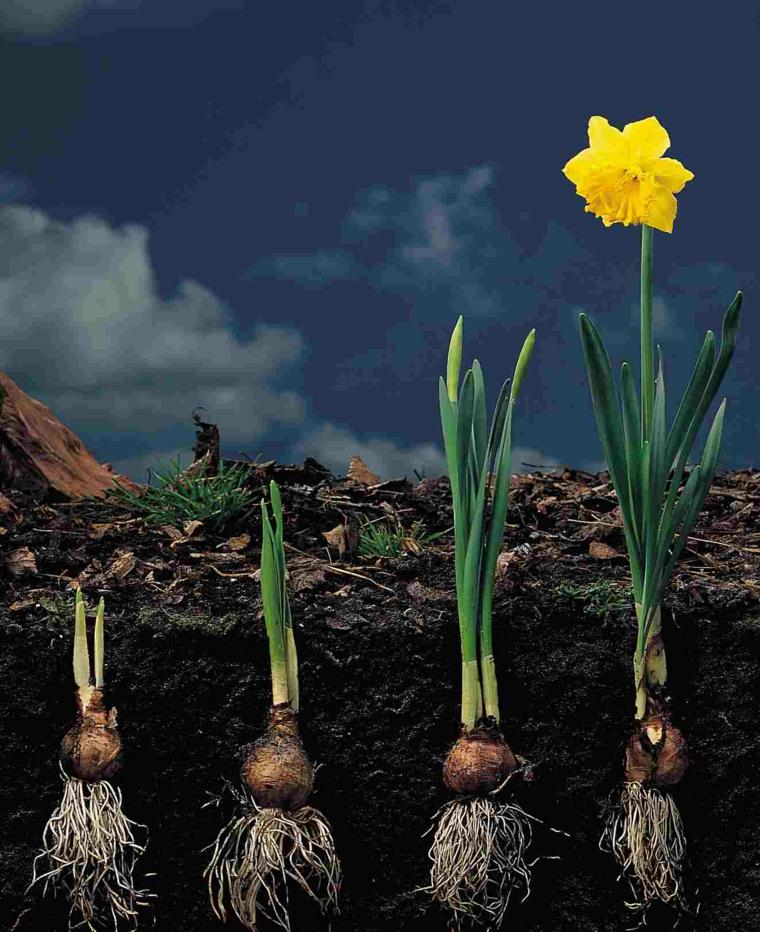 bulbos fases desarrollo flor narciso