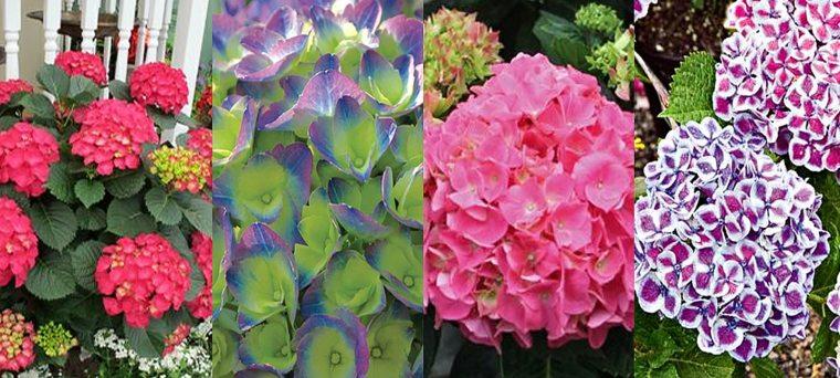 diferentes colores flor hortensia