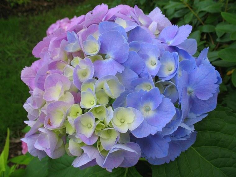 estupendos colores flores hortensias