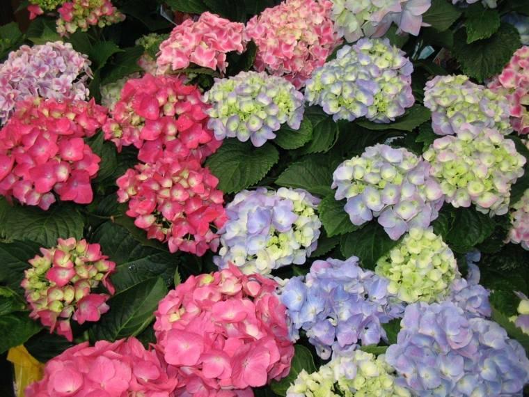 estupendas hortensias colores varios