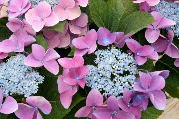 flores hortensia vista cerca