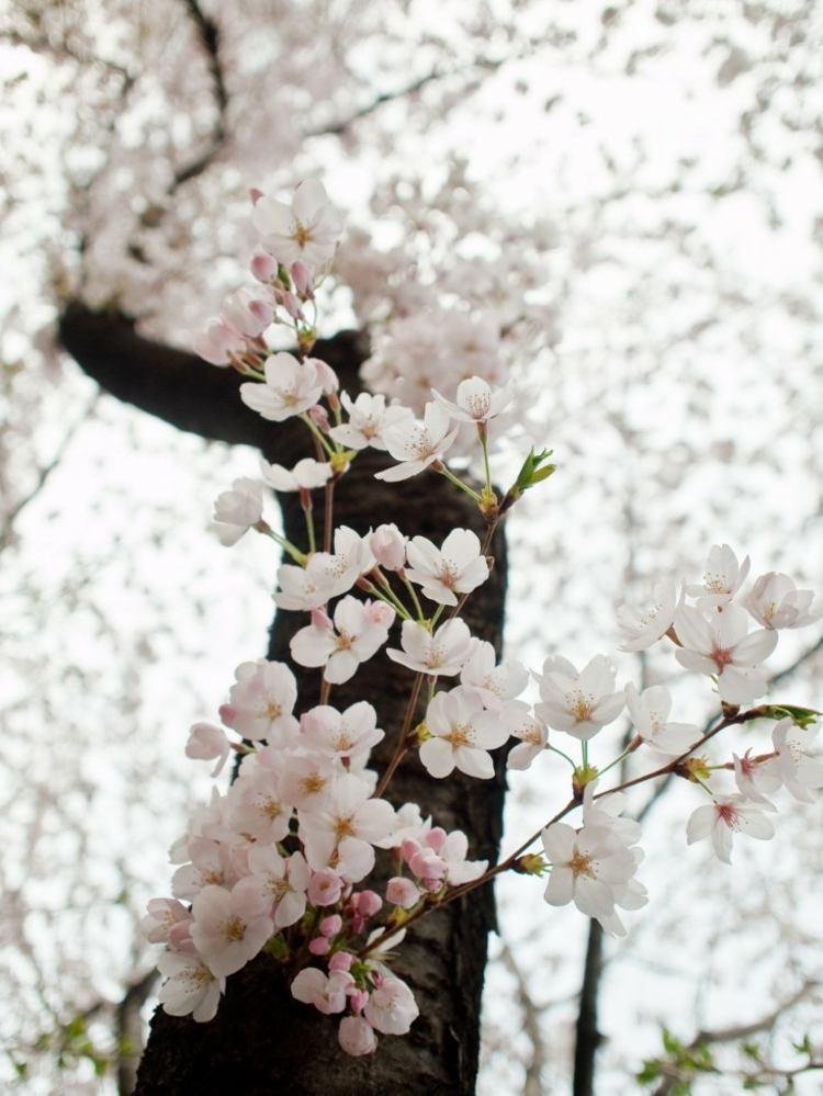 flores cerezo Cherry Blossom