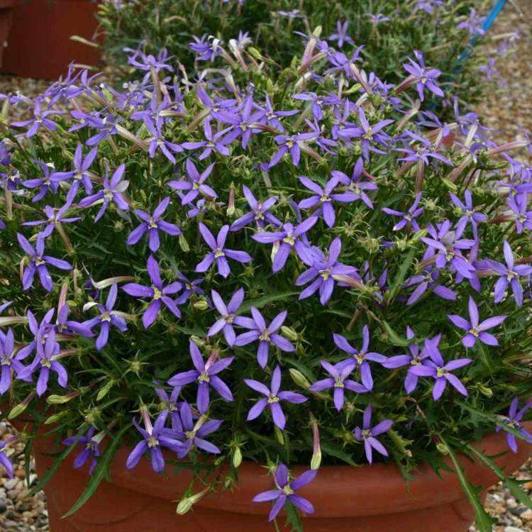 flores pequeñas color lavanda