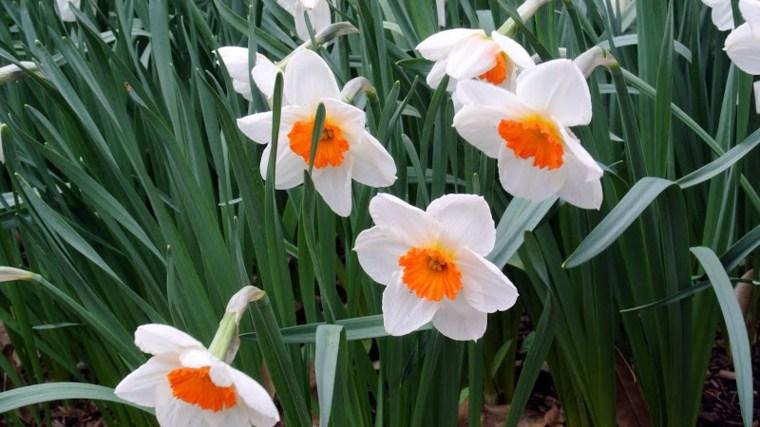 flores narcisos color blancos naranja