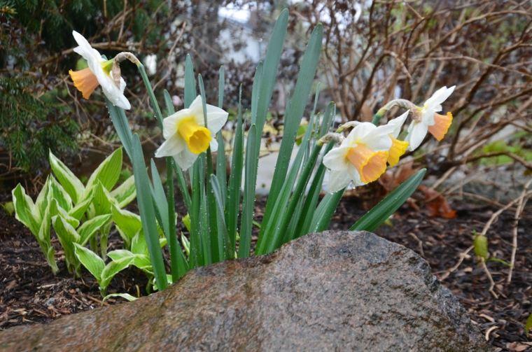 flores narcisos roca plantas hojas