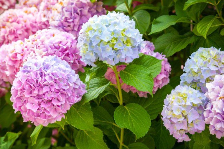 flores hortensia bonita foto