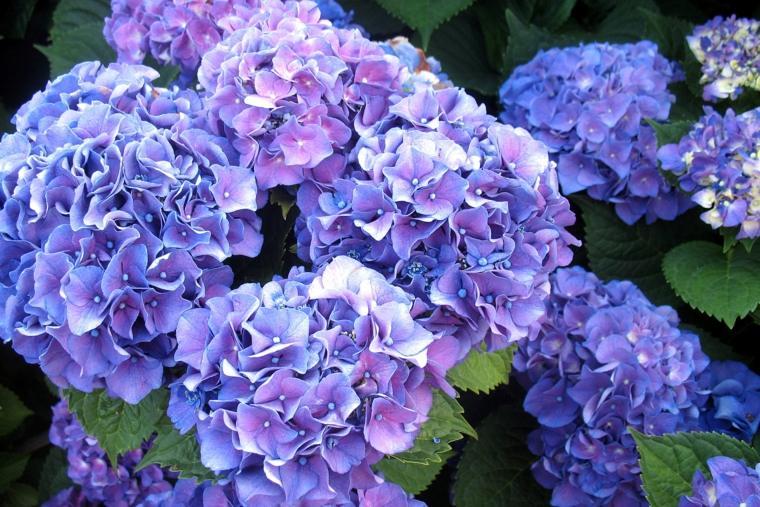 flores de hortensias color lila