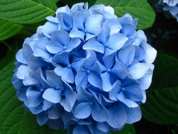 flores hortensias color celeste