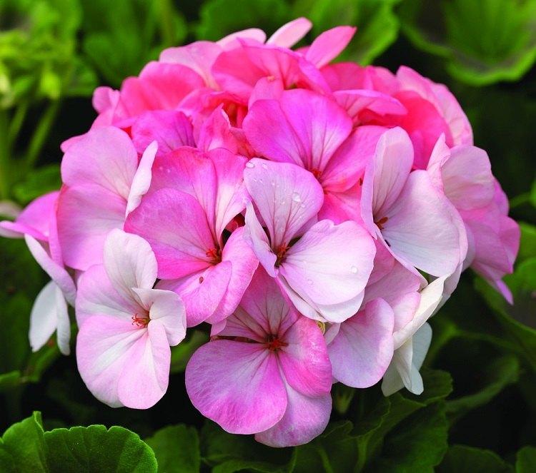 geranio estilos variados salas rosa