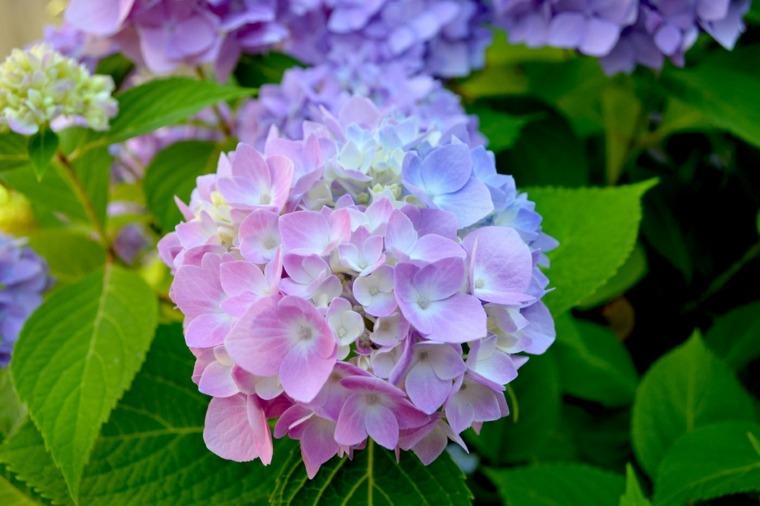 hermosas flores bola hortensia