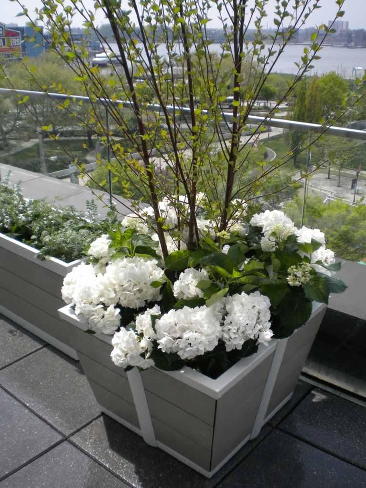 hortensia cuidados detalles clasicas diseño