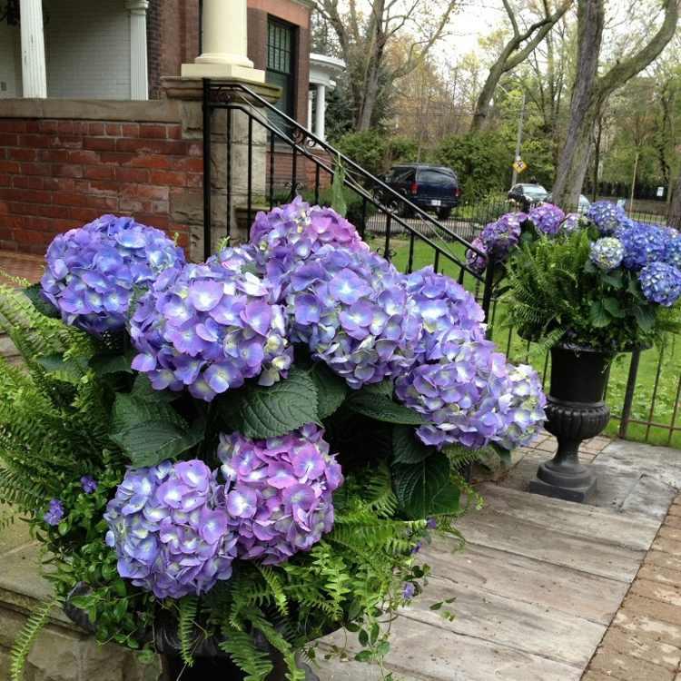 hortensia cuidados para un jard n siempre hermoso