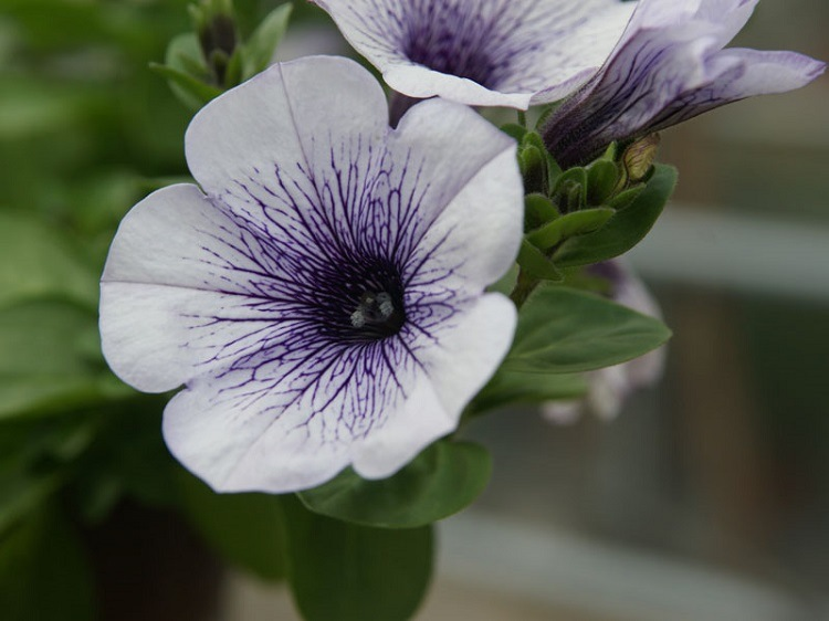 intensos variados petunias claras plantas